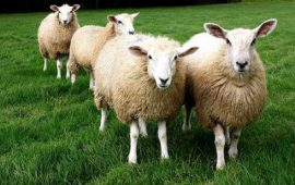Идея бизнеса: разведение овец