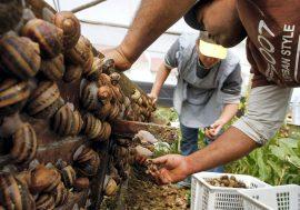 Бизнес-идея: Разведение виноградных улиток