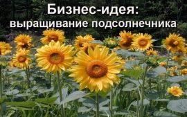 Бизнес идея: выращивание подсолнечника
