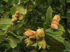 Бизнес идея: по выращиванию фундука