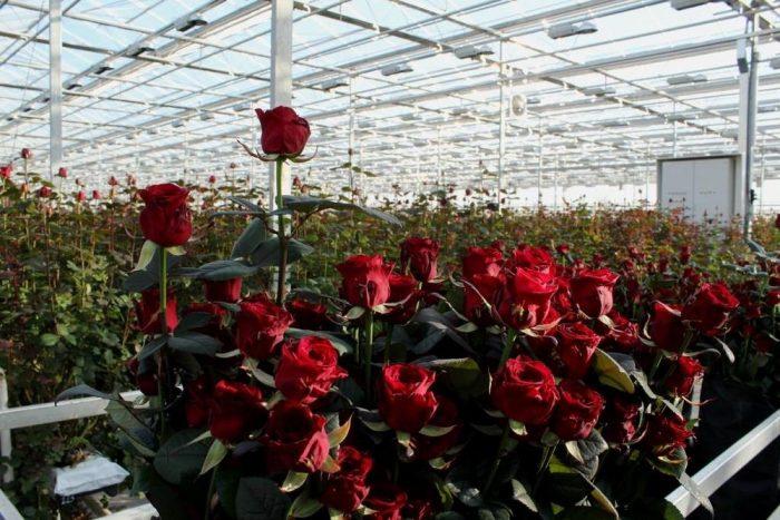 Бизнес идея: Как заработать на выращивании роз в теплицах