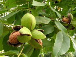 Бизнес идея: Выращивание грецких орехов