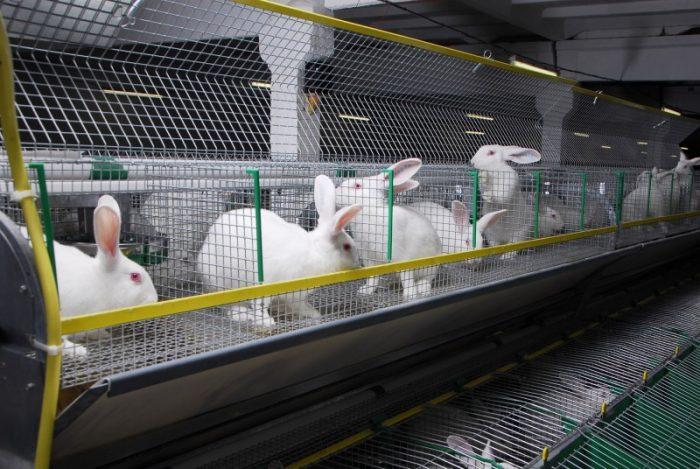 Бизнес идея: Выращивание кроликов