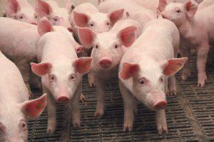 Бизнес идея: Выращивание свиней в домашних условиях