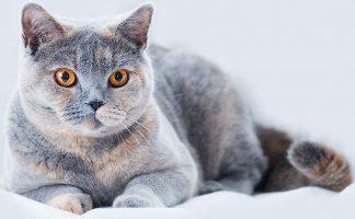 Бизнес идея: на разведении породистых кошек
