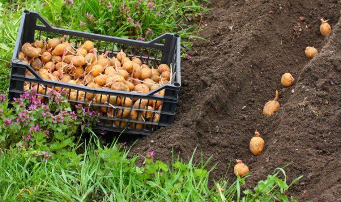 Бизнес-идея: выращивание картофеля по голландской технологии