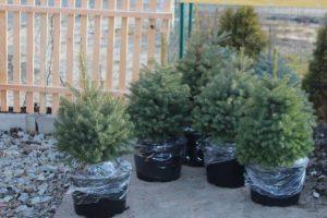 Бизнес идея: Выращивание елок в кадках и горшках