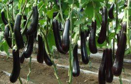 Бизнес идея: Выращивание и продажа баклажанов