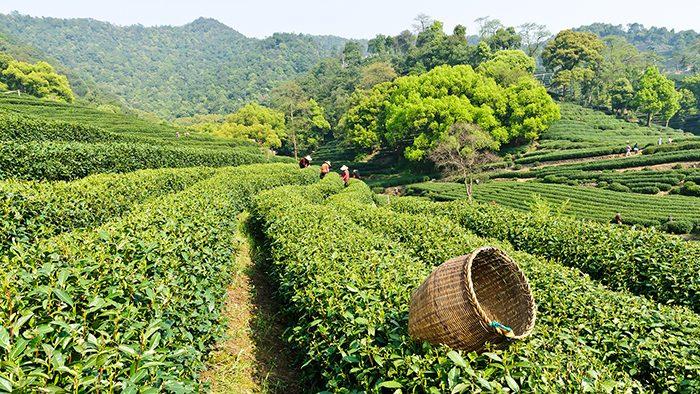 Бизнес идея: Производство чая