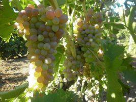 Бизнес идея: Выращивание винограда из косточек
