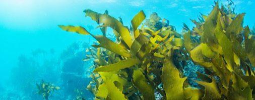 Бизнес-идея: Выращивание и продажа морских водорослей