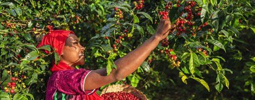 Бизнес-идея: Выращивание кофейных деревьев