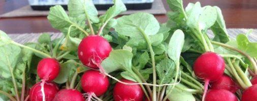 Бизнес-идея: Выращивание редиса в теплице