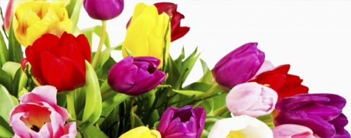 Бизнес-идея: Выращивание тюльпанов круглый год
