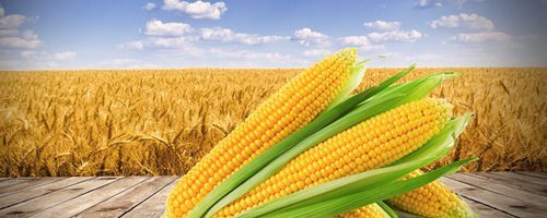 Бизнес-идея: Выращивание кукурузы