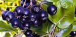 Бизнес-идея: Выращивание черноплодной рябины