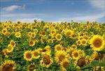 Бизнес-идея: Выращивание подсолнечника
