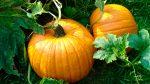 Бизнес-идея: Выращивание тыквы