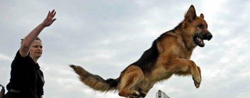 Бизнес-идея: Открытие курсов дрессировки собак